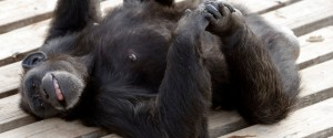 Chimp Haven Sanctuary in Keithville, LA